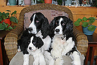 SH25-563z English Springer Spaniel puppy and adults