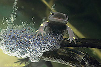 SL06-023x   Salamander - spotted salamander female laying eggs - Ambystoma maculatum