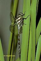 1O11-017b   Black-tipped Mosaic Darner Dragonfly just emerged from nymph skin - Aeshna tuberculifera