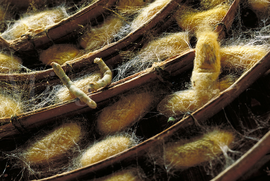 A wicker basket of concentric circles holding silkworms and their cocoons, close-up. Chiang Mai, Thailand. Traditional manufacturing process. Chiang Mai, Thailand.