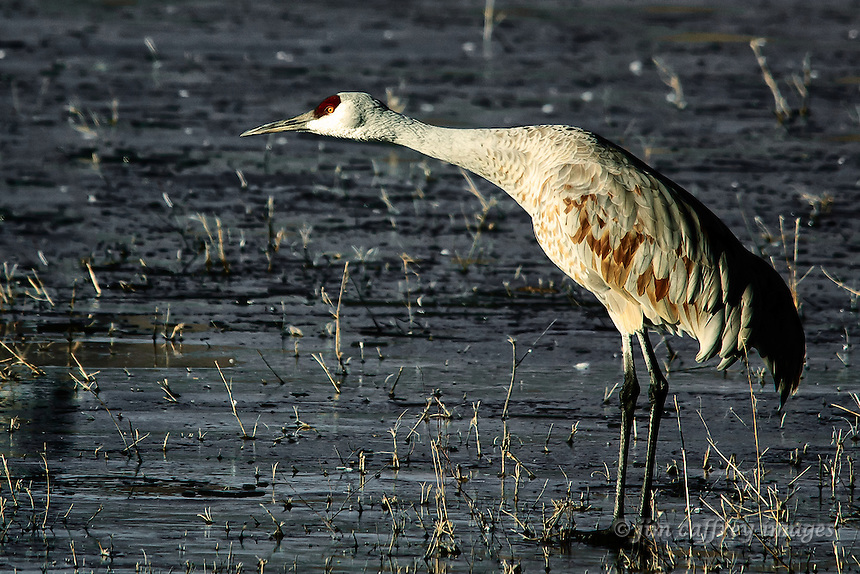 A sandhill crane in a stance that indicates he is about to take wing at Bosque del Apache National Wildlife Refuge.