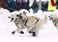 Saturday, March 3, 2012 Paul Gebhart dogs run with gusto during the Ceremonial Start of Iditarod 2012 in Anchorage, Alaska.