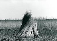 geschnittenes Reet in der Marsch, Schleswig-Holstein, Deutschland 1980