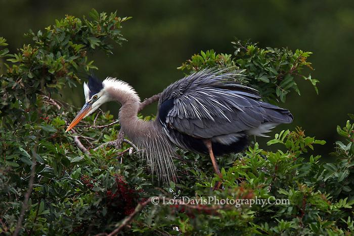 Great Blue Heron in Tree  #H4