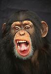 Portrait of a chimpanzee, Africa