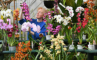BNPS.co.uk (01202 558833)<br /> Pic: ZacharyCulpin/BNPS<br /> <br /> Orchiding me - Sara Rittershausen sorts through the collection of 300 orchids at her garden nursery, in Newton Abbot, Devon. <br /> <br /> Burnham Nurseries are a family-run business which is now into its third generation. It was started by her grandfather Percy Rittershausen in 1949, in Croydon, Surrey, having grown orchids successfully as a hobby since the 1920s. They now grow and produce the widest range of orchids of anyone in the UK.
