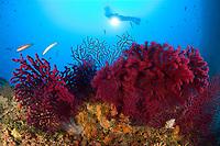 scuba diver with red gorgonia, Paramuricea clavata, Secca delle Secche, Giglio Island, Tuscany Archipelago, Tuscany, Italy, Thyrrenian Sea, Mediterranean Sea