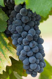Italien, Piemont, Region Monferrato: blaue Weintrauben | Italy, Piedmont, Region Monferrato: blue grapes