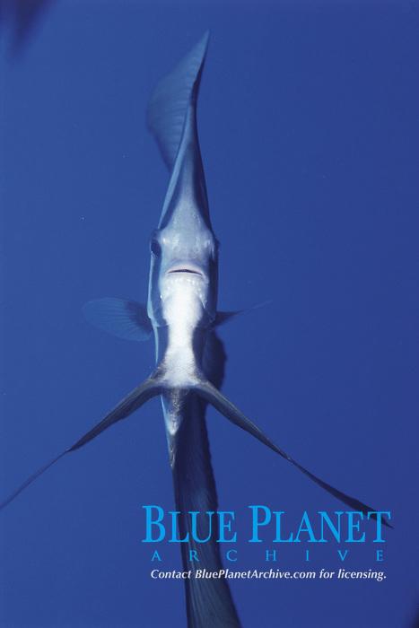 Tall fin Bat fish, Platax teira