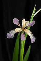 Iris foetidissima bluish purple form