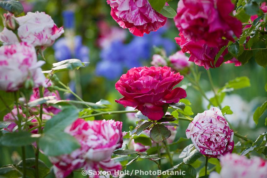 Red, bi-color rose in California Napa country garden.