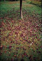 Leaves on ground underneath red oak tree<br />