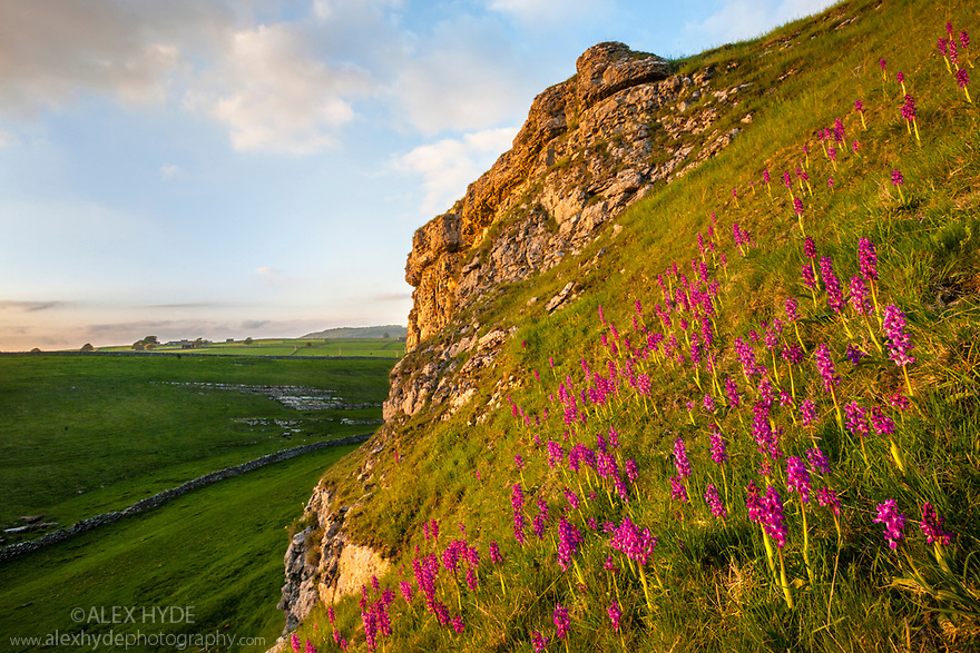 Early Purple Orchids {Orchis mascula} at sunset, Cressbrook Dale, Derbyshire, UK