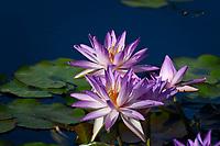 Water Lilies, San Angelo, TX