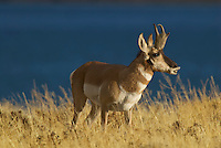 Pronghorn (Antilocapra americana) buck smelling for a doe in heat during the fall rut.  Western U.S.
