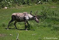 1221-1001  Male Woodland Caribou (Forest Caribou or Reindeer), Shedding Winter Coat, Rangifer tarandus  © David Kuhn/Dwight Kuhn Photography