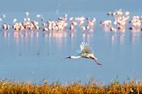 African spoonbill, Platalea alba, flying, Lake Nakuru, Lake Nakuru National Park, Rift Valley, Kenya, Africa