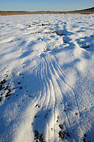 Greater Sage-Grouse (Centrocercus urophasianus) landing tracks in snow. These marks were are created as the tail drags the snow during landing. Freemont County, Wyoming. March.