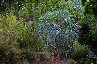 Cussonia paniculata - Mountain Cabbage Tree, South African tree in Taft Gardens; Ojai, California