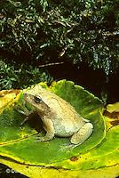 FR01-003x  Spring Peeper Tree Frog - on forest floor - Pseudacris crucifer, formerly Hyla crucifer