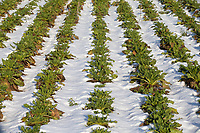 26-1-2021 Sugar beet plants on a frosty morning in Lincolnshire <br /> ©Tim Scrivener Photographer 07850 303986<br />      ....Covering Agriculture In The UK....