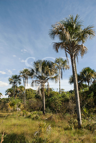 Brazil. Cerrados vegetation; Buriti palm (Mauritia flexuosa).