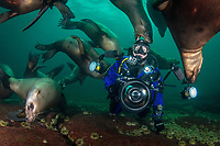underwater photographer and Steller sea lions, Eumetopias jubatus, Hornby Island, British Columbia, Canada, Pacific Ocean