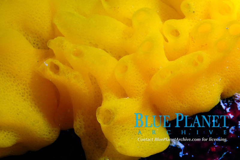 Yellow calcareous sponge (scientific name: Clathrina canariensis), off Key Largo coast, Atlantic Ocean, Florida Keys, USA, United States.