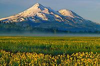 Seep spring arnica<br /> Grass Lake<br /> Mt. Shasta<br /> Cascade Range,  California