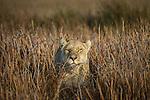 Lion, Okavango Delta, Botswana<br /> <br /> For stock licensing please contact info@artwolfe.com or 206.332.0993
