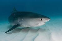 Tiger shark. Galeocerdo cuvier. Underwater.