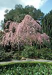 2296-CB Weeping Japanese Flowering Cherry, Prunus subhirtella pendula, and Yew hedges at Filoli Center, Woodside CA