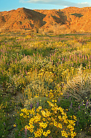 These fields of spring wildflowers included Lupine and Brittlebush (Encelia farinosa), Joshua Tree National Park, California