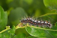 Schwan, Raupe, Euproctis similis, Porthesia similis, Sphrageidus similis, yellow-tail, gold-tail, Goldtail Moth, Swan Moth, caterpillar, le Cul doré, La chenille