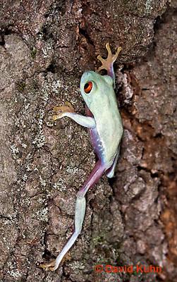 0306-0931  Red-eyed Tree Froglet (Young Frog) Climbing, Agalychnis callidryas  © David Kuhn/Dwight Kuhn Photography.