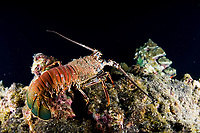 spiny lobster, Panulirus argus, Cocos Island, Costa Rica, Pacific Ocean