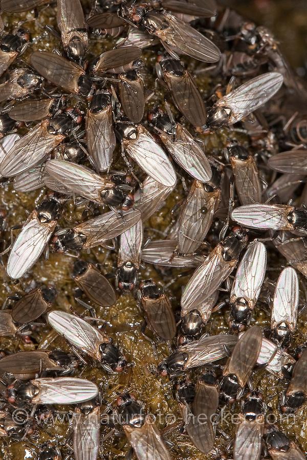 Dungfliege, Kotfliege, Dungfliegen, Kotfliegen auf Pferdeapfel, Kot, Copromyza spec, Sphaeroceridae, lesser dung fly, lesser dung flies, small dung flies, lesser corpse flies, small dung fly, lesser corpse fly
