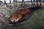 north american beaver swimming 45 degrees to camera
