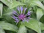 Batchelor button type purple wildflower.