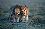 Male Lions (Panthera leo) - two brothers that form a dominant coalition - patrolling territorial boundary. Short grass plains on the border of Serengeti / Ngorongoro Conservation Area (NCA) near Ndutu, Tanzania.