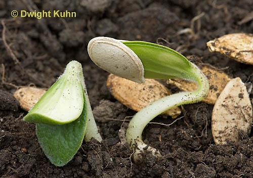 HS24-536z  Pumpkin seeds germinating and young plants emerging from soil