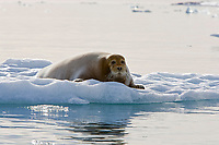 Bearded seal, Erignathus barbatus, resting on a piece of ice at Gravneset, Spitsbergen, Svalbard, Norway, Arctic Ocean