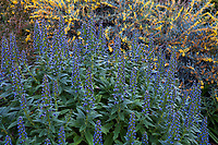 Echium gentianoides flowering perennial; Arlington Garden, Pasadena