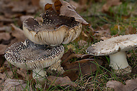 Pantherpilz, Panther-Pilz, Panterpilz, Amanita pantherina, Panther cap, False blusher