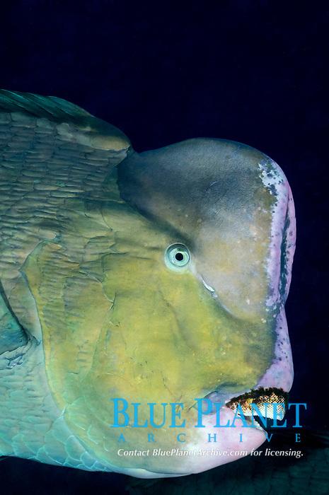 green humphead parrotfish, Bolbometopon muricatum, Tulamben, Bali, Indonesia, Indo-Pacific Ocean