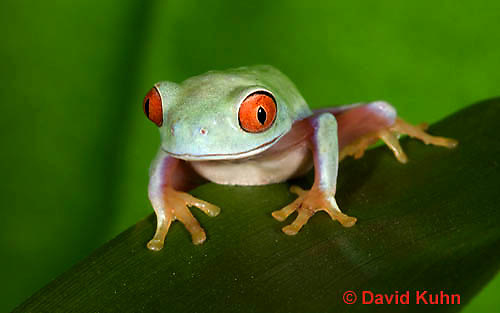 0306-0901  Red-eyed Tree Froglet (Young Frog), Agalychnis callidryas  © David Kuhn/Dwight Kuhn Photography.