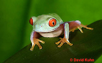 0306-0901  Red-eyed Tree Froglet (Young Frog), Agalychnis callidryas  © David Kuhn/Dwight Kuhn Photography.