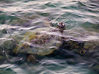 Green sea turtle coming up for air while feeding in the shallow tide pools of 'Anaeho'omalu Bay, Big Island.