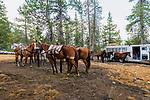 Saddling horses for pack trip. Western slope of the Sierra Nevada, California