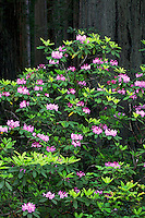 Rhododendrons in Del Norte Coast Redwoods State Park, part of the Redwoods State and National Parks, California